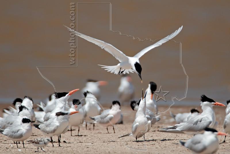 Sandwich Terns Mating Ritual ?,<br /> Bryan Beach, Quintana, Texas