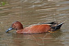 Cinnamon Teal, Male,<br /> Brazos Bend State Park, Texas