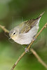 Tennessee Warbler,<br /> Lafitte's Cove, Galveston, TX