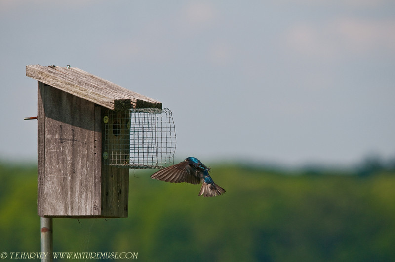 Tree Swallow at Mason Neck