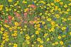 Texas Bluebonnet  (lupinus texensis), Texas Paintbrush (castilleja indivisa) and Huisache Daisy (amblyolepis setigera),<br /> Nordheim, Dewitt County, Texas