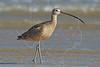 Long-billed Curlew, <br /> Bolivar Flats Shorebird Sanctuary - Texas