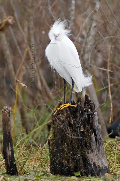 Snowy Egret,<br /> Brazos Bend State Park, Texas