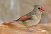 Northern Cardinal, Female,<br /> Quintana Neotropical Bird Sanctuary, Quintana, Texas