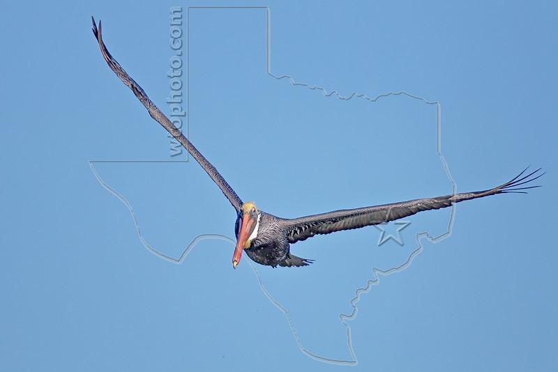 Brown Pelican, Flight<br /> East Beach, Galveston, Texas