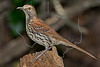 Brown Thrasher,<br /> Lafitte's Cove, Galveston, TX