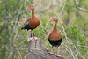 Black-bellied Whistling Ducks,<br /> Brazos Bend State Park, Texas