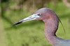 Little Blue Heron, Portrait,<br /> Brazos Bend State Park, Texas