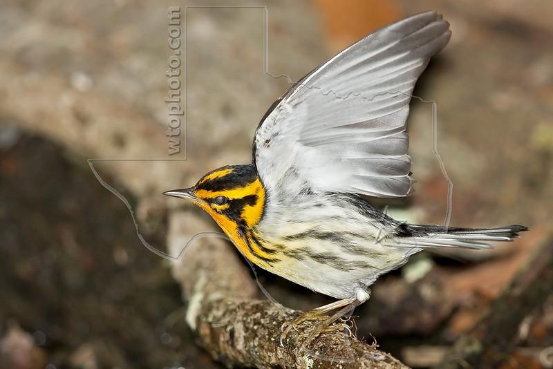 Blackburnian Warbler,<br /> Lafitte's Cove, Galveston, TX