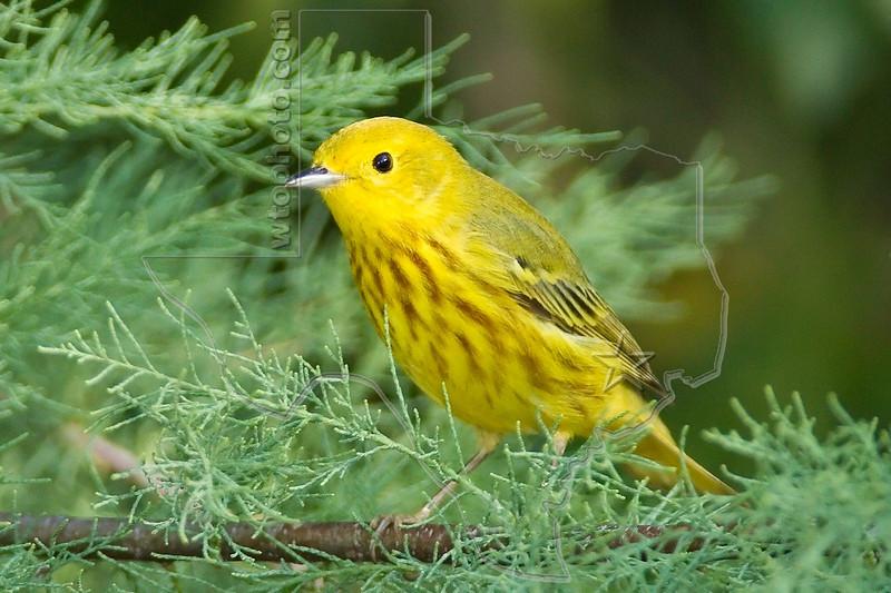 Yellow Warbler,<br /> Quintana Neotropical Bird Sanctuary, Quintana, Texas