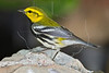 Black-throated Green Warbler,<br /> Quintana Neotropical Bird Sanctuary, Quintana, Texas