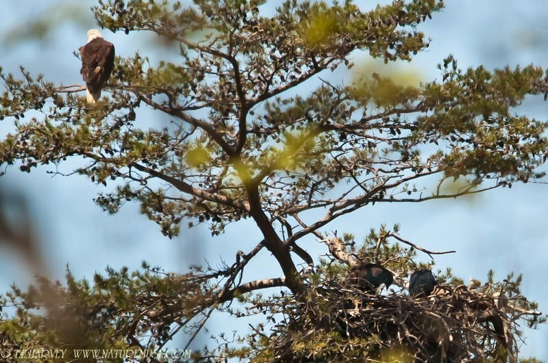 Young eaglets, black and already nearly the size of adults.