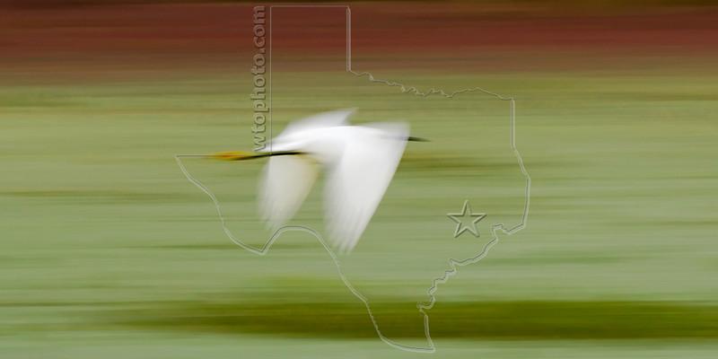 Snowy Egret, Flight,<br /> Brazos Bend State Park, Texas