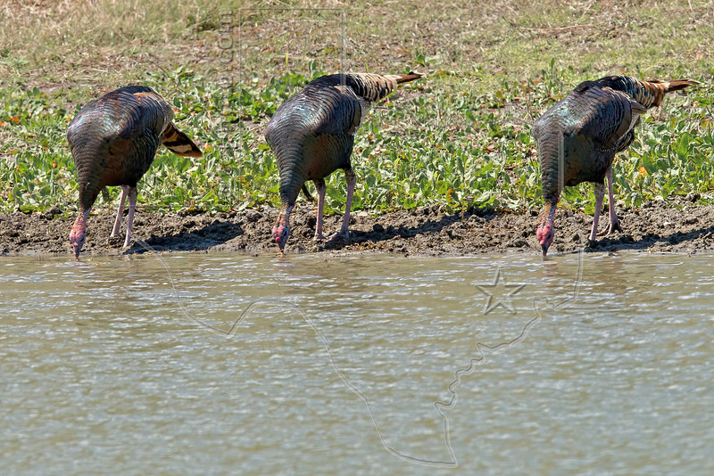 Wild Turkeys Drinking from Pond,<br /> near Nordheim, TX