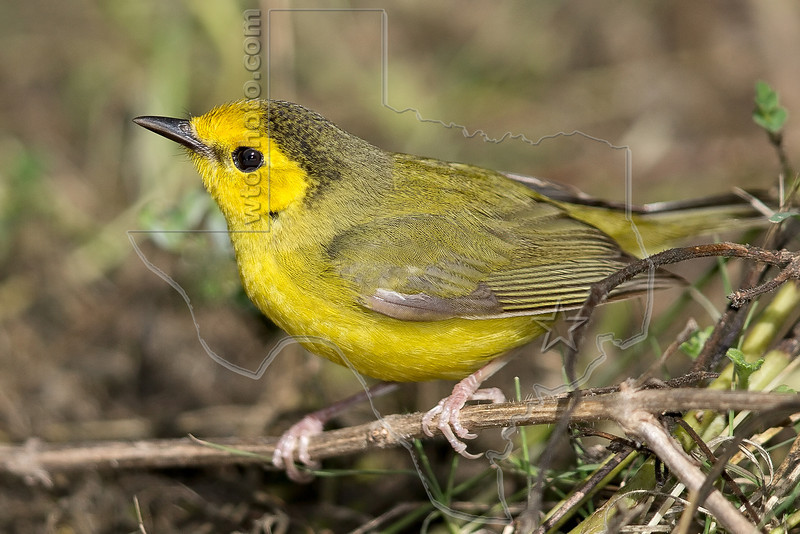 Hooded Warbler, Female,<br /> Quintana Neotropical Bird Sanctuary, Quintana, Texas