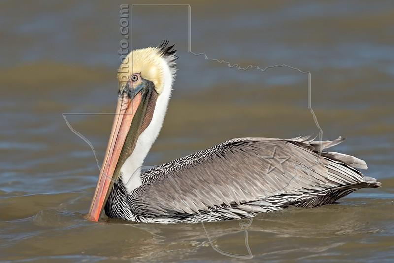 Brown Pelican, Swimming,<br /> Matagorda Island, TX