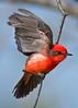 Vermillion Flycatcher,<br /> Brazos Bend State Park, Texas