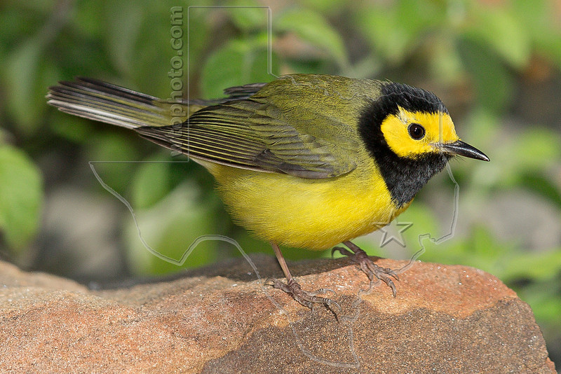 Hooded Warbler, Male,<br /> Quintana Neotropical Bird Sanctuary, Quintana, Texas