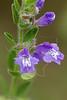 Drummond Skullcap (scutellaria drummondii),<br /> Nordheim, Dewitt County, Texas