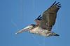 Brown Pelican, Juvenile, Flight<br /> East Beach, Galveston, Texas