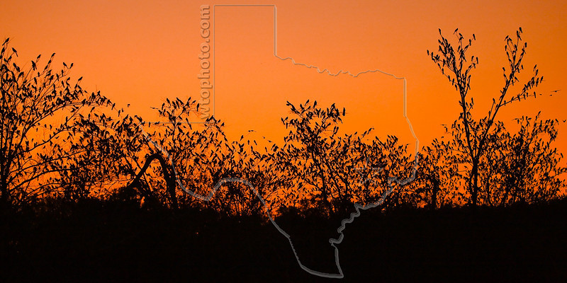 Red-winged Blackbirds, Roosting; Sunset,<br /> Brazos Bend State Park, Texas