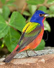 Painted Bunting, Male,<br /> Quintana Neotropical Bird Sanctuary, Quintana, Texas