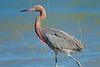 Reddish Egret,<br /> Aransas National Wildlife Refuge, Texas