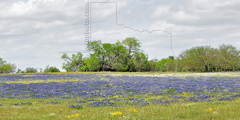 Texas Bluebonnet  (lupinus texensis) ,<br /> Nordheim, Dewitt County, Texas