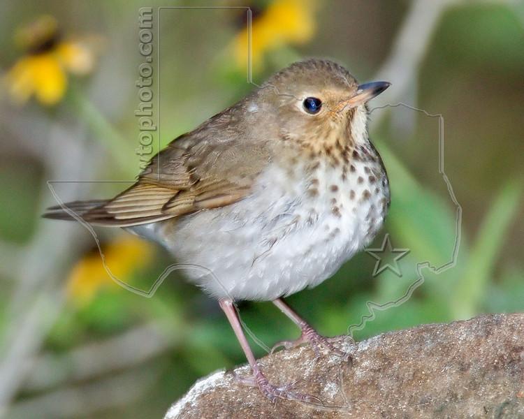 Swainson's Thrush<br /> Quintana Neotropical Bird Sanctuary, Quintana, Texas
