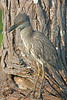 Yellow-crowned Night Heron, Juvenile,<br /> Effective Camogflage,<br /> Brazos Bend State Park, Texas