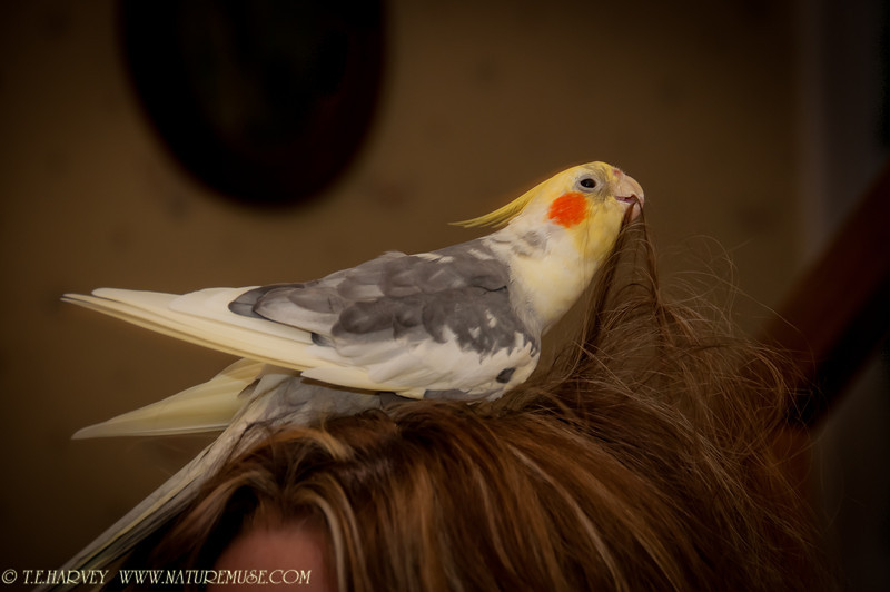 Wendy, our 23-year old cockatiel, enjoying hair styling my younger daughter on Thanksgiving Day.