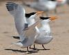 Royal Terns Mating Ritual,<br /> Bryan Beach, Quintana, Texas