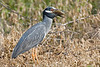 Yellow-crowned Night Heron, Eating Perch<br /> Brazos Bend State Park, Texas