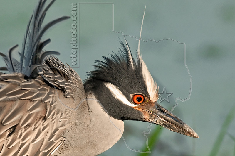 Yellow-crowned Night Heron, Sunset Light,<br /> Brazos Bend State Park, Texas