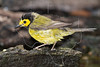 Hooded Warbler, Wet,<br /> Lafitte's Cove, Galveston, TX