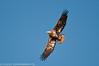 Young Eagle at Mason Neck Wildlife Refuge.
