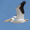 White Pelicanl, Flight<br /> Matagorda Island, TX