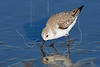Sanderling,<br /> East Beach, Galveston, Texas