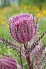 Texas Thistle (cirsium texanum),<br /> Nordheim, Texas