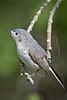 Blue-gray Gnatcatcher,<br /> Quintana Neotropical Bird Sanctuary, Quintana, Texas