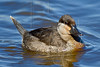 Ruddy Duck<br /> San Bernard National Wildlife Refuge, Texas