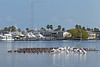 Black Skimmers and White Pelicans, <br /> Little Bay, Rockport, Texas