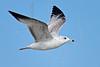 Juvenile Herring Gull, Flight<br /> Matagorda Island, TX