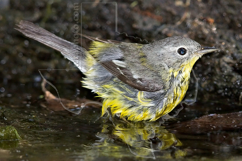 Magnolia Warbler, Bathing,<br /> Lafitte's Cove, Galveston, TX