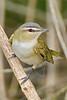Red-eyed Vireo,<br /> Quintana Neotropical Bird Sanctuary, Quintana, Texas