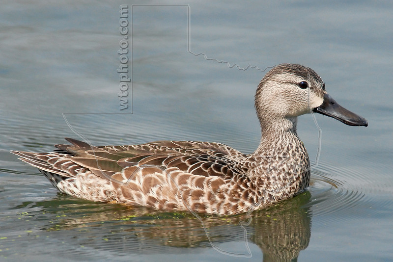 Blue-winged Teal Duck, Female,<br /> Brazos Bend State Park, Texas