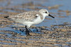 Sanderling on Beach, Winter Plumage,<br /> Matagorda Island, TX