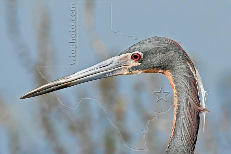 Tri-colored Heron, Portrait,<br /> Brazos Bend State Park, Texas