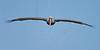 Brown Pelican, Flight,<br /> Matagorda Island, TX