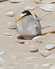 Least Tern, Incubating Eggs in Nest<br /> Upper Texas Coast Beach
